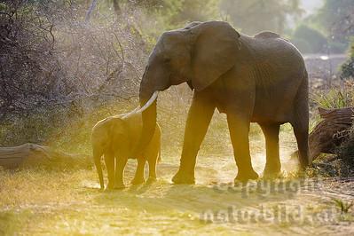 22-K31-02 - Afrikanischer Elefant