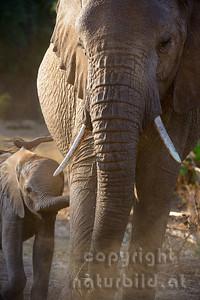 22-K31-05 - Afrikanischer Elefant