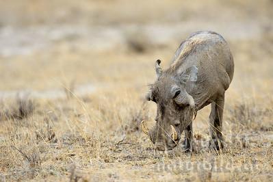 22-K36-04 - Wüstenwarzenschwein