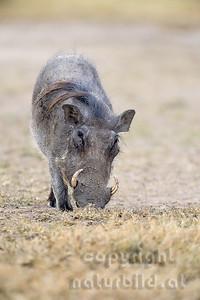 22-K36-08 - Warzenschwein