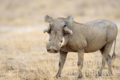 22-K36-05 - Wüstenwarzenschwein