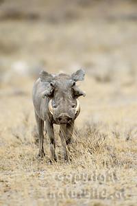 22-K36-03 - Wüstenwarzenschwein