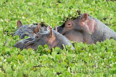 22-K32-24 - Flusspferde