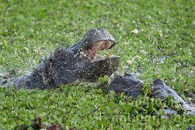 22-K32-27 - Flusspferde streitend
