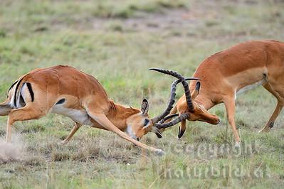22-K04-11 - Kämpfende Impala Böcke