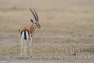 22-K09-01 - Thomsom-Gazelle