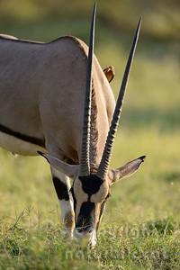 22-K07-01 - Oryx-Beisa