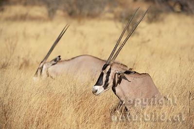 22-K07-06 - Oryx-Beisa