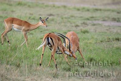 22-K04-06 - Kämpfende Impala Böcke