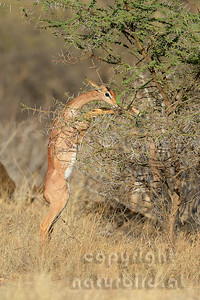 22-K02-07 - Gerenuk (Giraffengazelle)