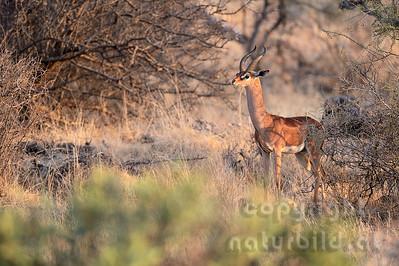 22-K02-10 - Gerenuk Bock (Giraffengazelle)