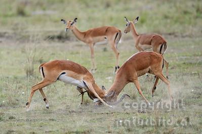 22-K04-26 - Kämpfende Impala Böcke