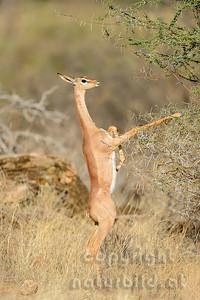 22-K02-08 - Gerenuk (Giraffengazelle)