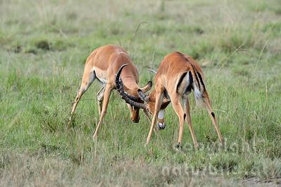 22-K04-02 - Kämpfende Impala Böcke