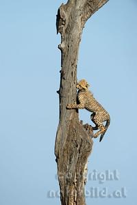 22-K12-08 - Junger Gepard beim klettern