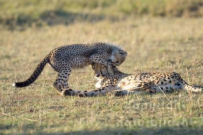 22-K12-22 - Gepardin mit Jungtier