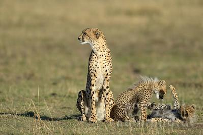 22-K12-27 - Geparden Familie