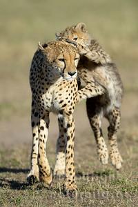 22-K12-33 - Gepardin mit Jungem