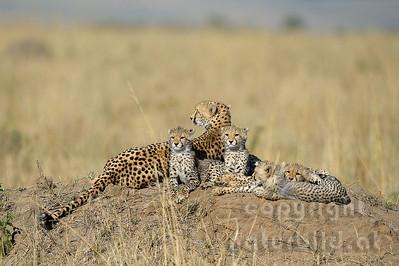 22-K12-39 - Familienfoto mit Gepard