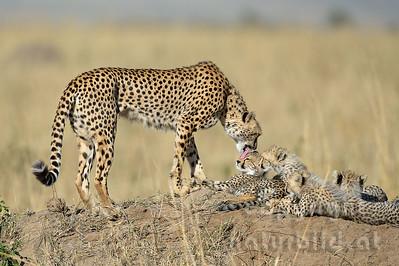 22-K12-41 - Geparden Familie
