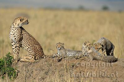 22-K12-38 - Geparden Familie