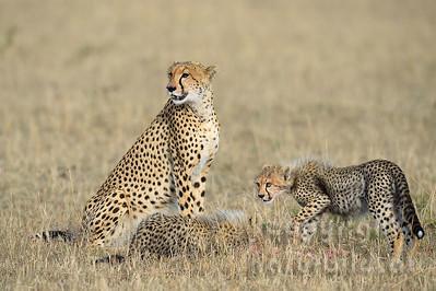 22-K12-55 - Geparden