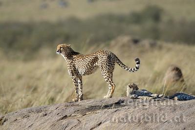 22-K12-43 - Geparden