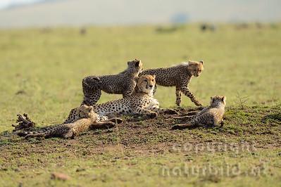 22-K12-05 - Geparden Gruppe