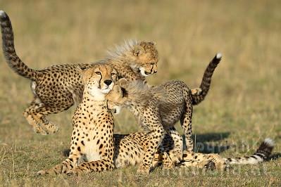 22-K12-25 - Geparden Familie