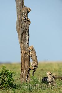 22-K12-11 - Geparden beim klettern
