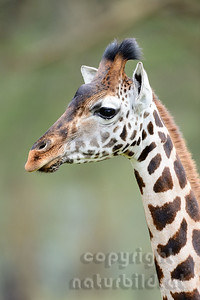22-K33-29 - Rothschild Giraffe