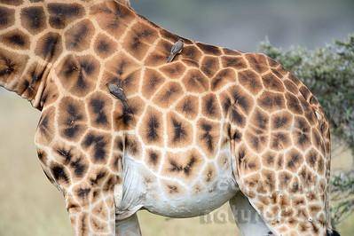 22-K33-26 - Rothschild Giraffe