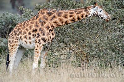 22-K33-25 - Rothschild Giraffe