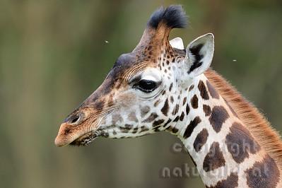 22-K33-30 - Rothschild Giraffe