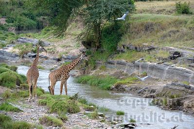22-K33-60 - Massai-Giraffe