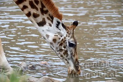 22-K33-49 - Massai-Giraffe beim trinken