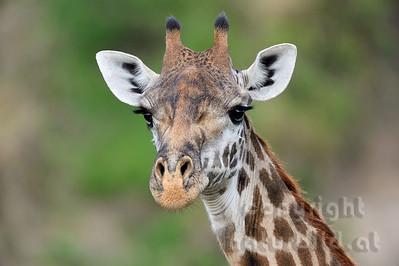 22-K33-48 - Massai-Giraffe
