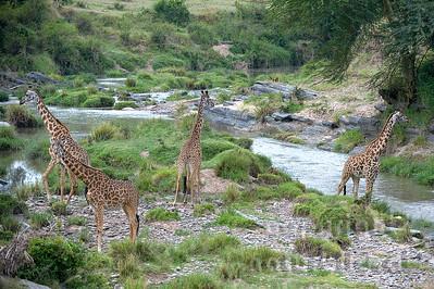 22-K33-59 - Massai-Giraffe