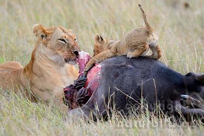 22-K15-48 - Löwen Weibchen mit Jungem am Riss
