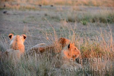 22-K15-76 - Löwen Rudel im Morgenlicht