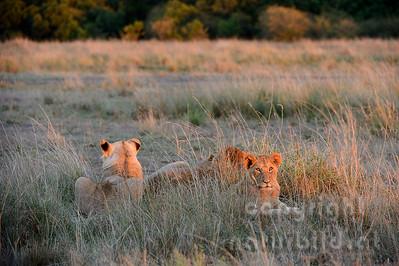 22-K15-77 - Löwenrudel im Morgenlicht