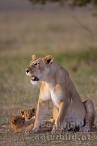 13-K06-42 - Löwin mit Nachwuchs
