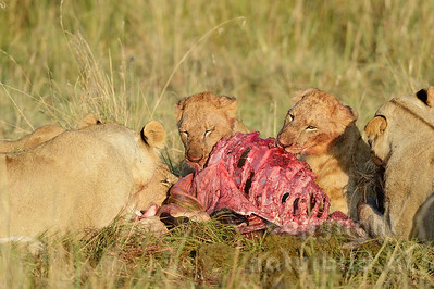 22-K15-27 - Löwen am Riss