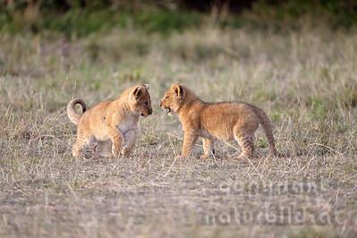 13-K06-37 - Löwencups beim spielen