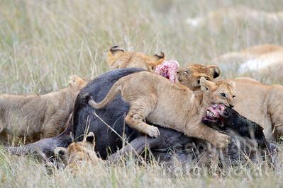 22-K15-58 - Löwen beim fressen