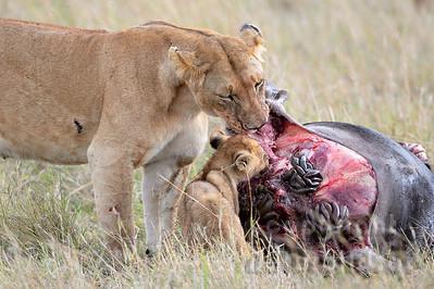 22-K15-46 - Löwen Weibchen mit Jungem am Gnu Kadaver