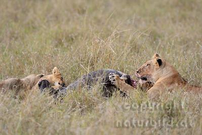 22-K15-44 - Löwen Weibchen am Riss