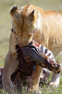 13-K06-18 - Löwin mit Zebrakadaver
