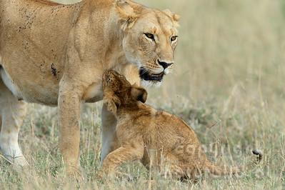 22-K15-37 - Löwin mit Jungem