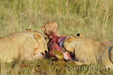 22-K15-23 - Löwen Weibchen am Riss